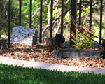 Rock squirrel mother carrying juvenile
