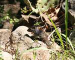 Juvenile rock squirrel in its more normal habitat
