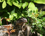 Juvenile rock squirrel in its more normal habitat
